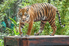 Impressions from Taronga's new tiger trek (claudia@flickr) Tags: animals australia nsw tarongazoo tigers mosman newsouthwales au