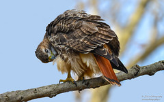 Red-tailed Hawk (salmoteb@rogers.com) Tags: bird wild outdoor redtailed hawk prey nature