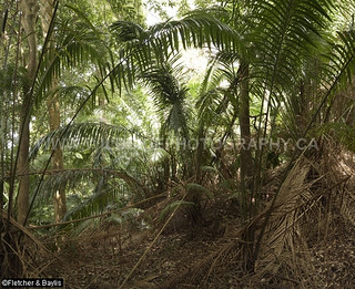 40805 Palm thicket in the understory of coastal hill rainforest, Perak, Malaysia