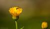 A  Busy Morning (Soham.) Tags: nature yellow depth field sunshine ant life nikon d7000 honeybee