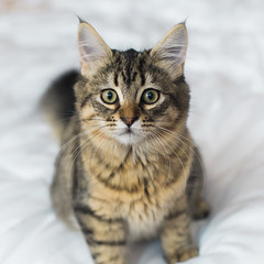 Josie the Pixie-Bob (davidwoganphoto) Tags: 14 50mm sony a6300 bob canon cat fd kitten london pixie portrait square tabby whiskers young england unitedkingdom gb