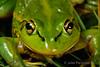 Growling Grass Frog (Litoria raniformis) (Jules Farquhar.) Tags: growlinggrassfrog litoriaraniformis southernbellfrog frog amphibia hylidae amphibian litoria green ballarat julesfarquhar