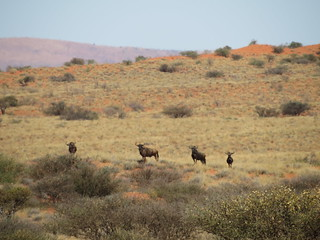South Africa Hunting Safari - Northern Cape 35