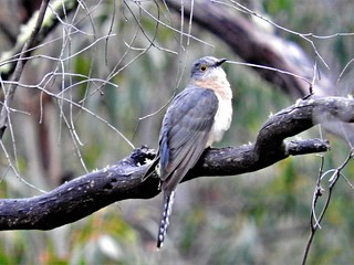 FSCN8872fan-tailed cuckoo in the rain PMR Tas Cacomantis flabelliformis (5)