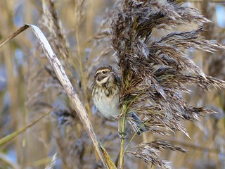 Reed Bunting  P1510226