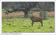 Red Deer Stag (Paul Simpson Photography) Tags: stag deer reddeer mammal normanbypark nature naturalworld antlers england imageof imagesof photoof photosof tree paulsimpsonphotography december2017 winter sonya77 naturephotography animal grass field trees molehills molehill