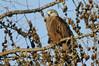 Red Kite (Milvus milvus) (Fly~catcher) Tags: milvus red kite bird prey pine tree