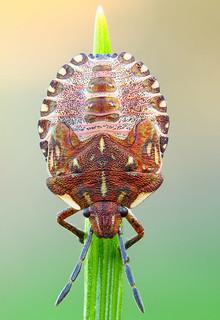 Carpocoris nymph