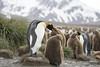 South Georgia (richard.mcmanus.) Tags: southgeorgia antarctica subantarcticislands penguins kingpenguins birds animals tenderness