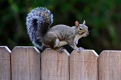 Don't fence me in (deanrr) Tags: wildlife alabamawildlife outdoor squirrel fence bokeh nature tamron tamron18400 animal nikond7100 gray mammal