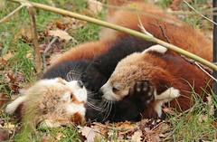 red panda Blijdorp BB2A5925 (j.a.kok) Tags: panda redpanda rodepanda kleinepanda animal blijdorp china asia azie mammal zoogdier dier blijdorpzoo