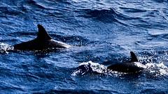 #dolphins #golfinhos #nature #natureza #care #water #aguasalgada #fernandodenoronha #paraiso #ilha #ilhafernandodenoronha #noronha #mar #agua #azul #cuidado #amor #animais #proteção #agora #inesquecível #lens #lensculture #canon #photo #brasil #pernambuco (AndrezaMagalhães) Tags: mar azul fernandodenoronha golfinhos water lensculture agora ilhafernandodenoronha lens paraiso nature inesquecível cuidado dolphins care aguasalgada pernambuco amor andrezamagalhães noronha canon brasil natureza photo ilha agua animais proteção
