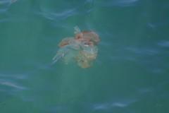 399Chrysaora plocamia (CTS_Chile) Tags: medusa jellyfish cnidaria scyphozoa chile chrysaora plocamia chrysaoraplocamia