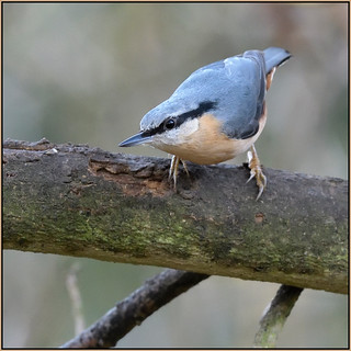 Nuthatch (image 1 of 2)