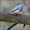 Nuthatch (image 1 of 2) (Full Moon Images) Tags: rspb sandy lodge thelodge wildlife nature reserve bedfordshire bird nuthatch