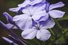 LindaKnox_Plumbago (Linda Knox) Tags: blueflowers flowers macro plumbago jpg