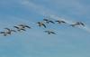 Here they come. (Omygodtom) Tags: wildlife wild bird geese outside park migrate contrast nikkor flying dof digital d7100 nikon70300mmvrlens sky