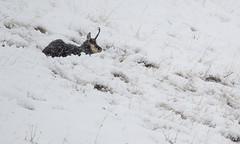 It's snowing... (quanuaua) Tags: ifttt 500px snow wildlife snowing wild animals nature photograph pics difficult life livigno chamois rupicapra camoscio photos italy