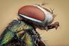 Studio macro - blow fly (embebu) Tags: stacking macro stacker focus focusing flies fly flie blow