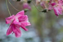Délicatesse givrée... (Gisou68Fr) Tags: rose rosa lavenderdream canoneos650d hiver winter neige snow jardin garden fleur flower givrée frozen proxi