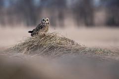 Short Eared Owl (NicoleW0000) Tags: shortearedowl owl wild wildlife nature outdoor photography ontario