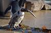 Chai Says No (MTSOfan) Tags: chai penguin africanpenguin feeding fish rejection bird lvz