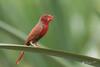 Crimson Finch (R. Francis) Tags: neochmiaphaeton crimsonfinch lawnhill lawnhillnationalpark lawnhillcreek boodjamullanationalpark ryanfrancis ryanfrancisphotography qld queensland northwestqueensland