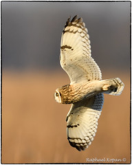 Short eared owl (RKop) Tags: d500 nikkor600f4evr handheld raphaelkopanphotography pickawaycounty ohio nikon