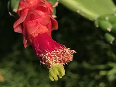 Red cactus flower is covered in pollen (jungle mama) Tags: cactus pad red pollen golden green tropicalcactus pricklypearcactus