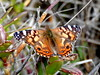 Brazilian Lady (d_taron) Tags: ecuador imbabura butterflies nymphalidae nymphalinae vanessa vanessabrasiliensis