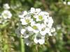 Alyssum flowers (tigerbeatlefreak) Tags: alyssum flowers plant nebraska