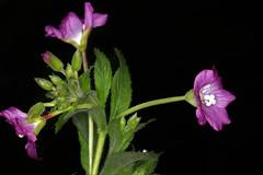 Epilobium hirsutum, l'épilobe hirsute. (chug14) Tags: plantae plante flower fleur onagraceae épilobehirsute épilobehérissé chamaeneriongrandiflorum chamaenerionhirsutum epilobiumhirsutum