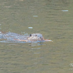 Beaver drags building material down the river thumbnail