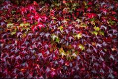 "AUTUMN  (PARTHENOCISSUS TRICUSPEDATA"" (TOYOGRACOR) Tags: plantas aplusphoto color flickrdiamond bej canon explore flickr dof mygearandme mygearandmepremium mygearandmebronze mygearandmesilver godlovesyou flickrflorescloseupmacros otoño rojo rojos mywinners follaje planta hoja brillante serenidad textura fotos autumn hojas vid blood red luz colorrojo rojosangre españa spain colorotoño parthenocissustricuspedata viña viñavirgen verde cantabria cantabriainfinita parthenocissusquinquefolia"