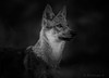 clair de lune..... (Pilouchy) Tags: clair lune animal wild nature free life canon regard eyes yeux wolf legend baby wood foret chemin story histoire
