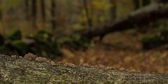 Zwammen - Mushrooms (naturum) Tags: 2017 autumn fall geo:lat=5601851084 geo:lon=1323117614 geotagged herfst höst mushroom nationaalpark nationalpark november paddestoel scania skåne söderåsen sverige sweden zwam zweden röstånga