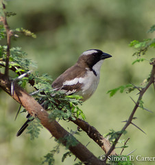 White-browed Sparrow-weaver (Simon Carter (Nairobi)) Tags: kenya tsavoeast birds