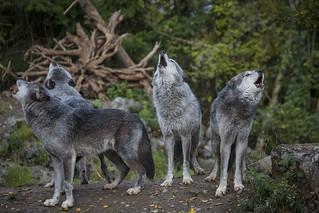 Wölfe beim heulen