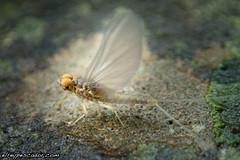 Flyfishing (eRdAvE) Tags: bug ephemeroptera fly flyfishing insect