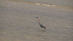 DSC04918 (Matthew283) Tags: bolvar wildlife 11182017 reddish egret
