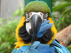 'Preening Parrot' (blue33hibiscus (on/off for a week)) Tags: blueyellowmacaw parrot longleat wiltshire
