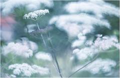 """""""fluffy clouds"""" (Photo Luc@) Tags: fluffy clouds macro fiori canon colore bokeh sfocato soft soffice"""