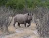 Black rhinoceros or hook-lipped rhinoceros (Diceros bicornis) (wmckenziephotography) Tags: etosha endangeredanimal blackrhino