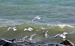 Jouer avec les éléments (Diegojack) Tags: saintprex vaud suisse léman eau embruns vagues bises vent oiseaux mouettes jeux
