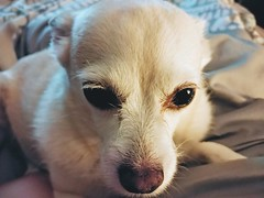 Chiwi. (thnewblack) Tags: lg v30 android smartphone chihuahua pet dog cute bokeh lowlight 16mp f16