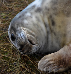 Am I cute enough yet ? (littlestschnauzer) Tags: grey seal pup seals youngster young baby cute adorable poser enchanting nikon donna nook east lincs uk british beach coast coastal animal colony shore nature wildlife december 2017 breeding grounds velvet smooth fur coat whiskers face flippers flipper dappled