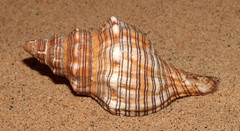Trapezium horse conch (Pleuroploca trapezium) subadult (shadowshador) Tags: trapezium horse conch pleuroploca subadult neomura eukaryota opisthokonta holozoa filozoa animalia lophotrochozoa mollusca conchifera gastropoda gastropod gastropods orthogastropoda orthogastropod orthogastropods neogastropoda neogastropod neogastropods buccinoidea fasciolariidae fasciolariinae conchology malacology invertebrate invertebrates taxonomy scientific classification biology sea snail snails shell shells sand sandy beach wildlife life