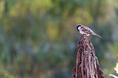 Common House Sparrow (Omar Aziz) Tags: wild green tree guava india canon 6d flight sunlight sparrow common house gorakhpur uttar pradesh
