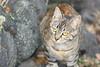 Mom (TheLionPo) Tags: expecting cats cat mom eyes animaleyes feline felino feralcat feral gato cateyes pets