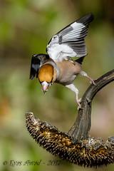xxD40_5896 (Eyas Awad) Tags: eyasawad nikond4 sigma500f45 nikond800 nikonafs300mmf4 bird birds birdwatching wildlife nature frosone coccothraustescoccothraustes